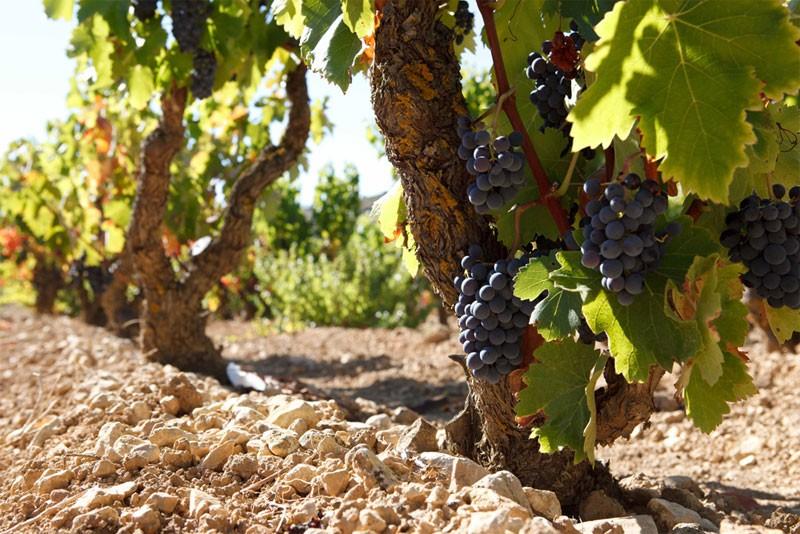 Exopto Vines
